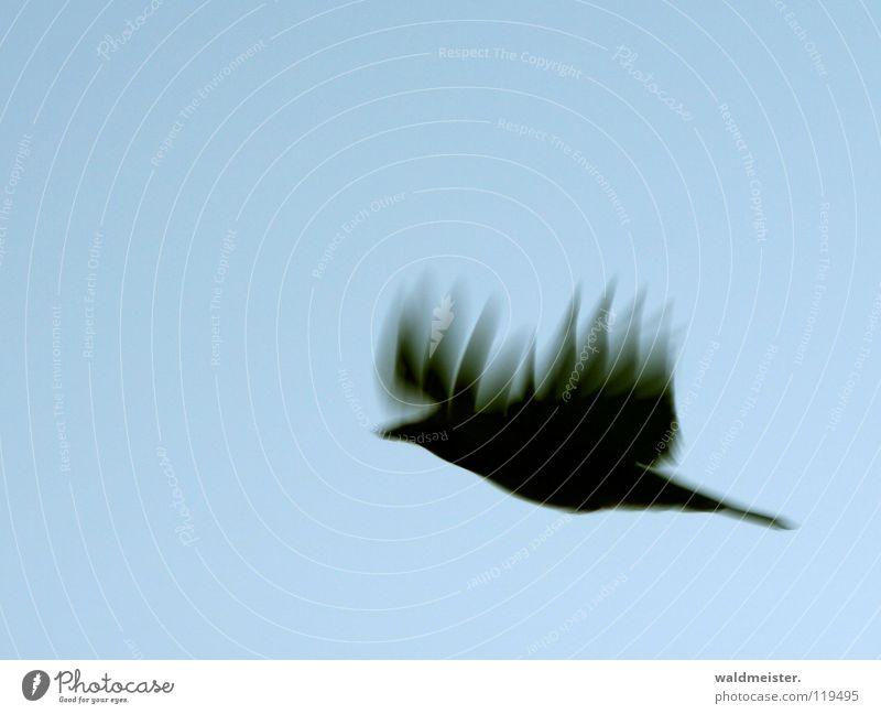 fire crow Crow Raven birds Blur Motion blur Bird Flying Aviation Wing