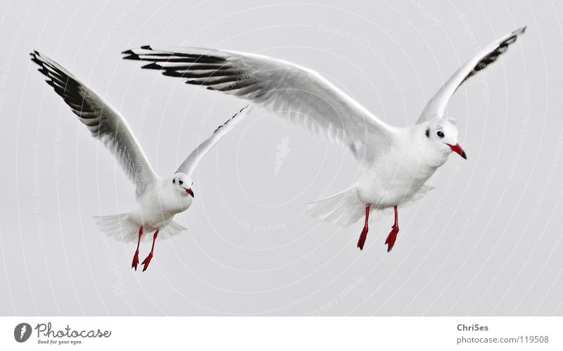 in a row without a link : Silver-headed seagulls ( Larus novaehollandia ) Seagull Bird Animal White Gray Black Clouds Poultry Lake Ocean Beak Glide Beaded