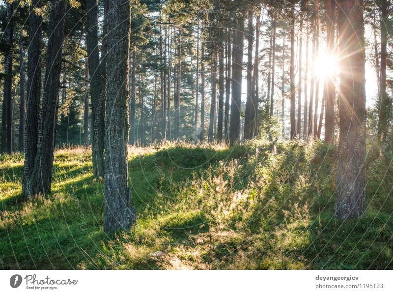 Sunrays in the woods Beautiful Summer Environment Nature Landscape Fog Tree Leaf Forest Bright Green Beech deciduous background light Beauty Photography sunrays