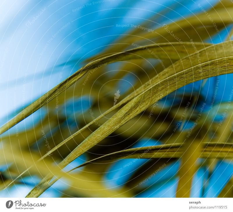 Reed Common Reed Reeds Habitat Juncus Blossoming Grass Blade of grass Plant Nature wag Environment Marsh grass Sweet grass spiral Background picture Abstract