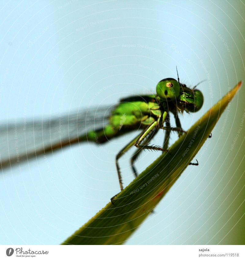 Green Leaf Eyes Animal Head Legs Wait Asia Wing Thin Observe To hold on Singapore Dragonfly Compound eye
