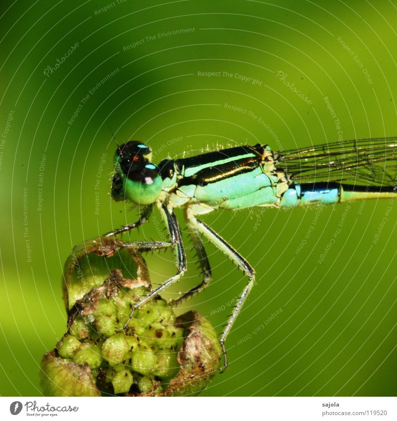 small dragonfly III Animal Blossom Foliage plant Animal face Wing 1 Observe To hold on Looking Wait Thin Blue Green Small dragonfly Dragonfly Turquoise
