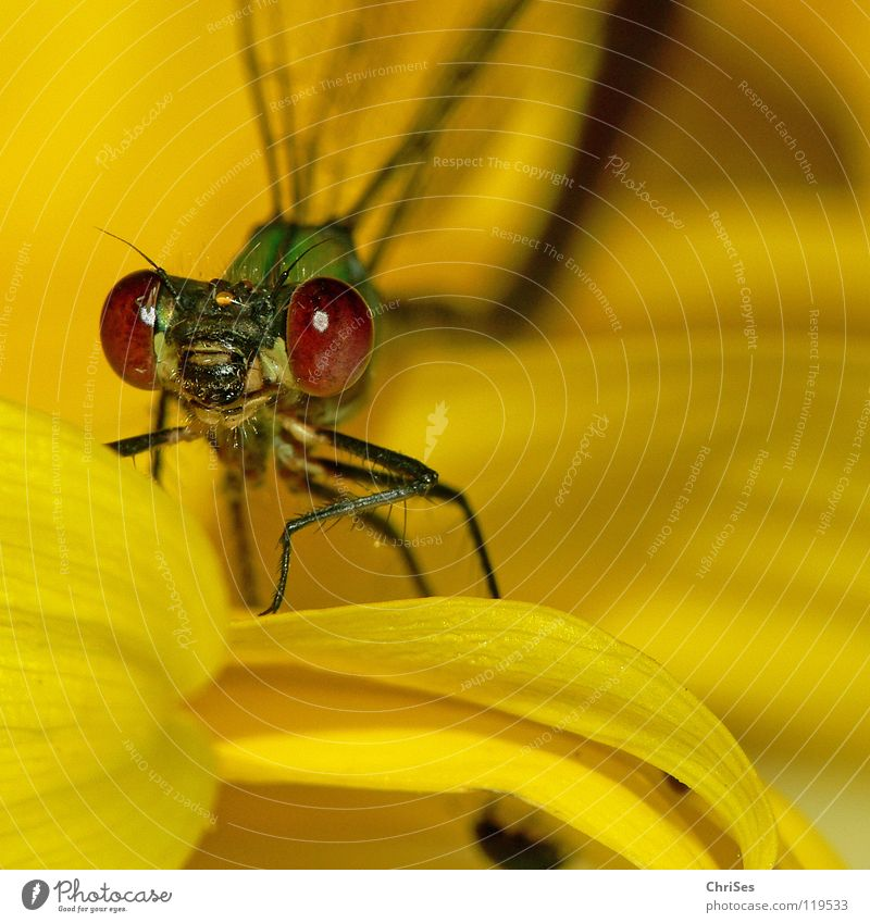 Green Animal Eyes Yellow Blossom Mouth Insect Drape Sunflower Appearance Frontal Flower Dragonfly Hello Northern Forest Emerald Damselfly