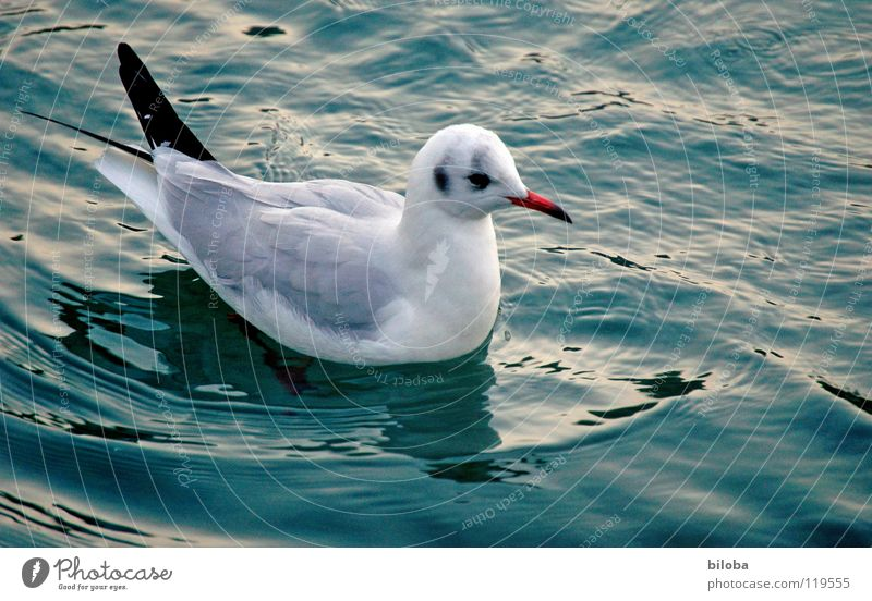 Blue Water White Beautiful Animal Black Freedom Bird Flying Elegant Tall Infinity Deep Seagull Pride