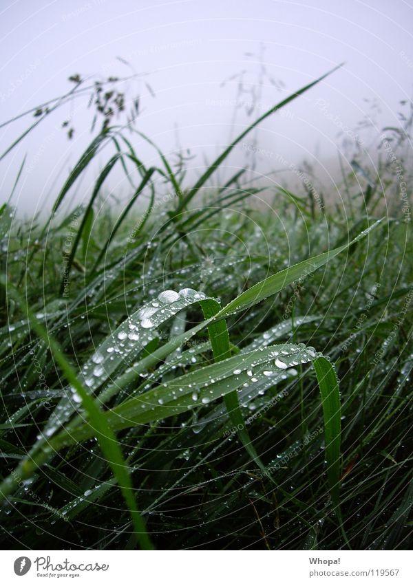 Green Summer Meadow Grass Gray Rain Fog Dew