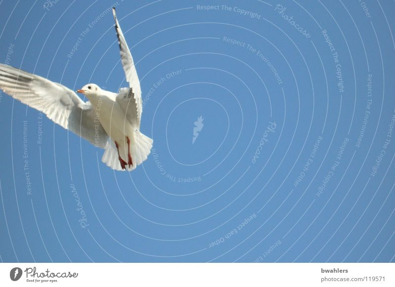 Seagull 3 Bird White Air Summer Sky Blue Freedom Flying Lake Constance Wing