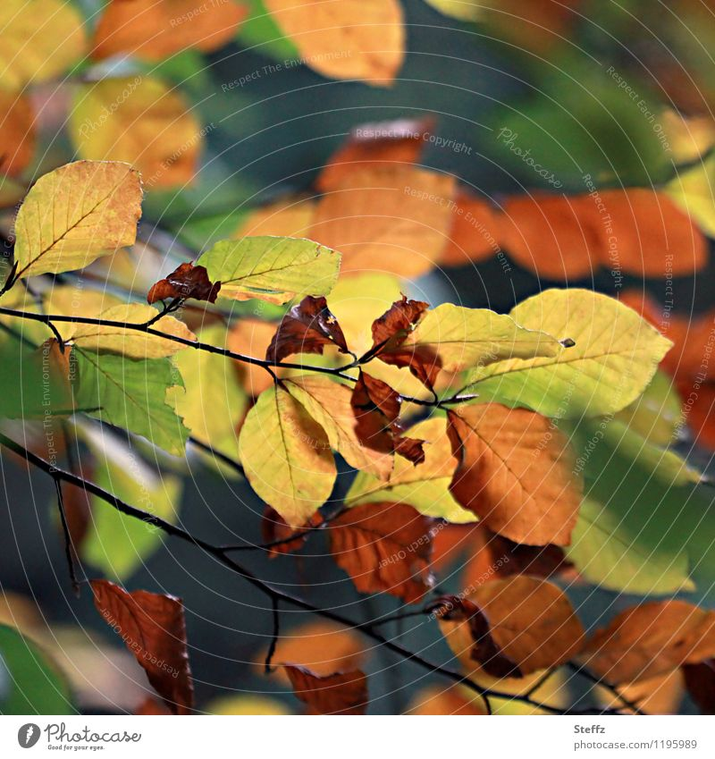 Autumnal conversion Nature Plant Leaf Beech leaf Beech tree Beech wood Autumn leaves Forest Automn wood Multicoloured Yellow Green Orange Sense of Autumn Colour