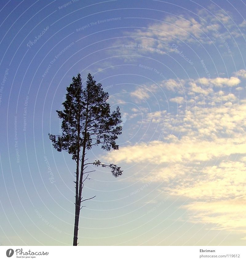 Divided Personality Tree Clouds White Clearing Thorny Loneliness Afternoon Coniferous trees High-rise Survive Gale 2 Treetop Head high Boredom Absorbent cotton