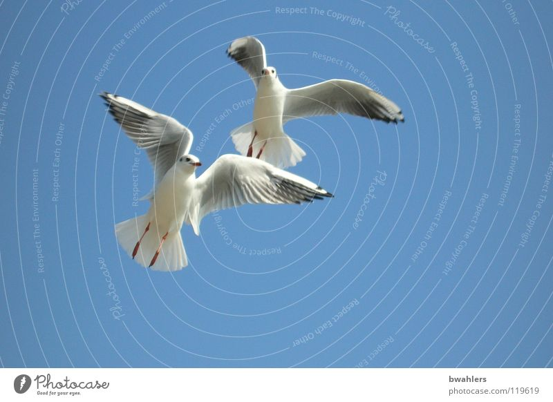 in twos Seagull Bird White Summer Lake Air 2 Sky Blue Flying Freedom Wing Feather Lake Constance