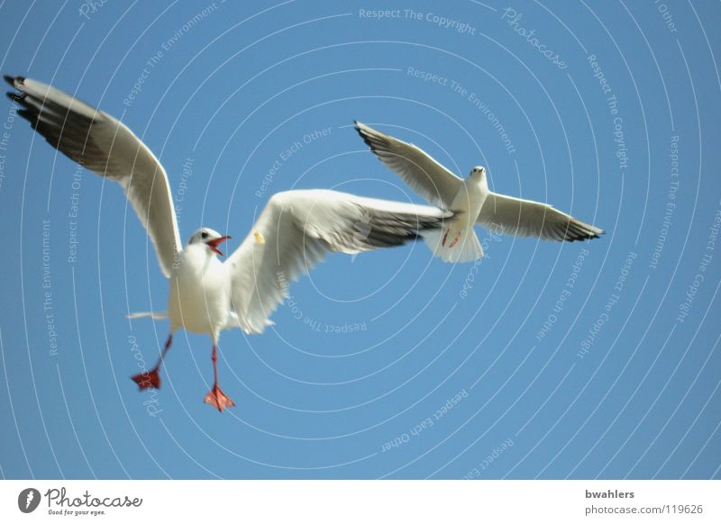 MINE Seagull Bird White Summer Lake Air 2 Feeding Sky Blue Flying Freedom Wing Feather Lake Constance