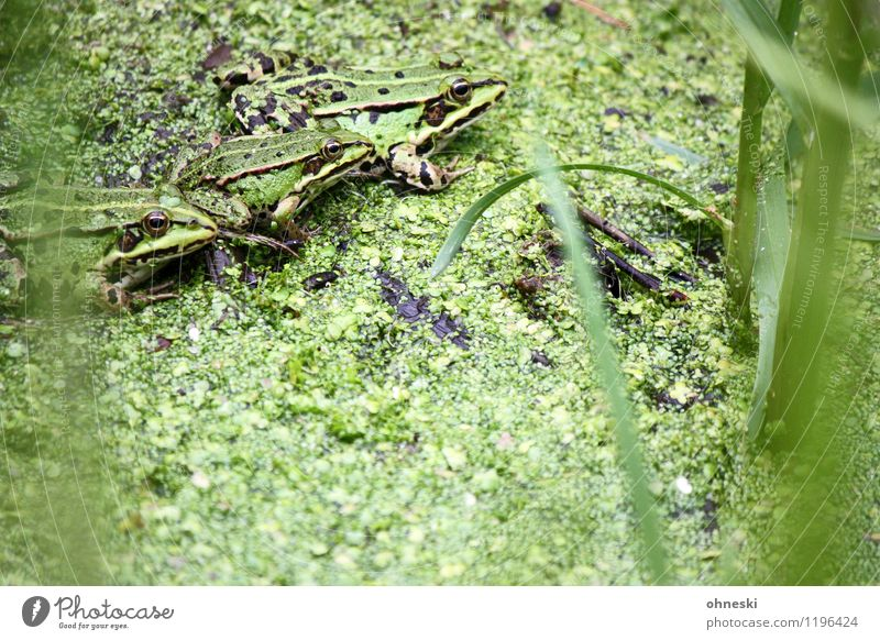 trio Nature Animal Grass Foliage plant Pond Frog Tree frog 3 Group of animals Green Colour photo Multicoloured Exterior shot Pattern Structures and shapes