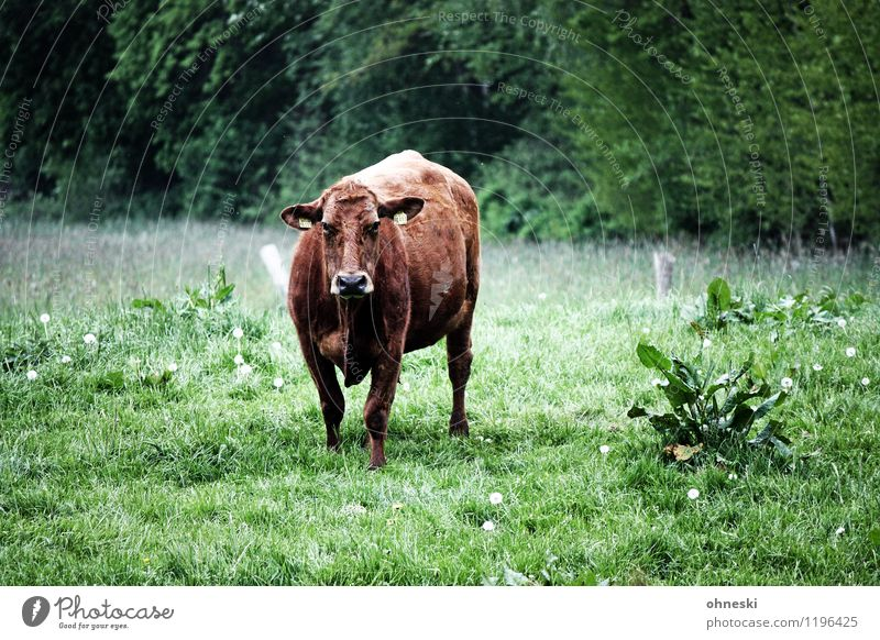 moo Organic produce Slow food Milk Agriculture Forestry Meadow Farm animal Cow 1 Animal Sustainability Cattle breeding Livestock Looking Colour photo