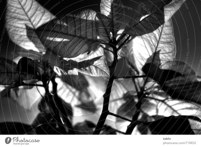 all over now... Christmas star Plant Euphorbiaceae Bract Leaf Houseplant Red Green Worm's-eye view Back-light HDR Black & white photo Beautiful