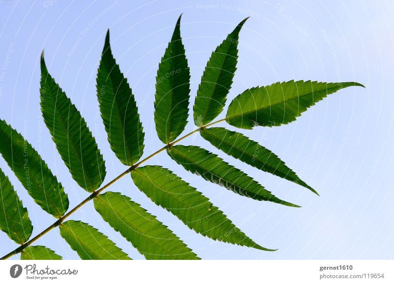 Sky Tree Green Blue Summer Leaf Beautiful weather Deciduous tree Ash-tree