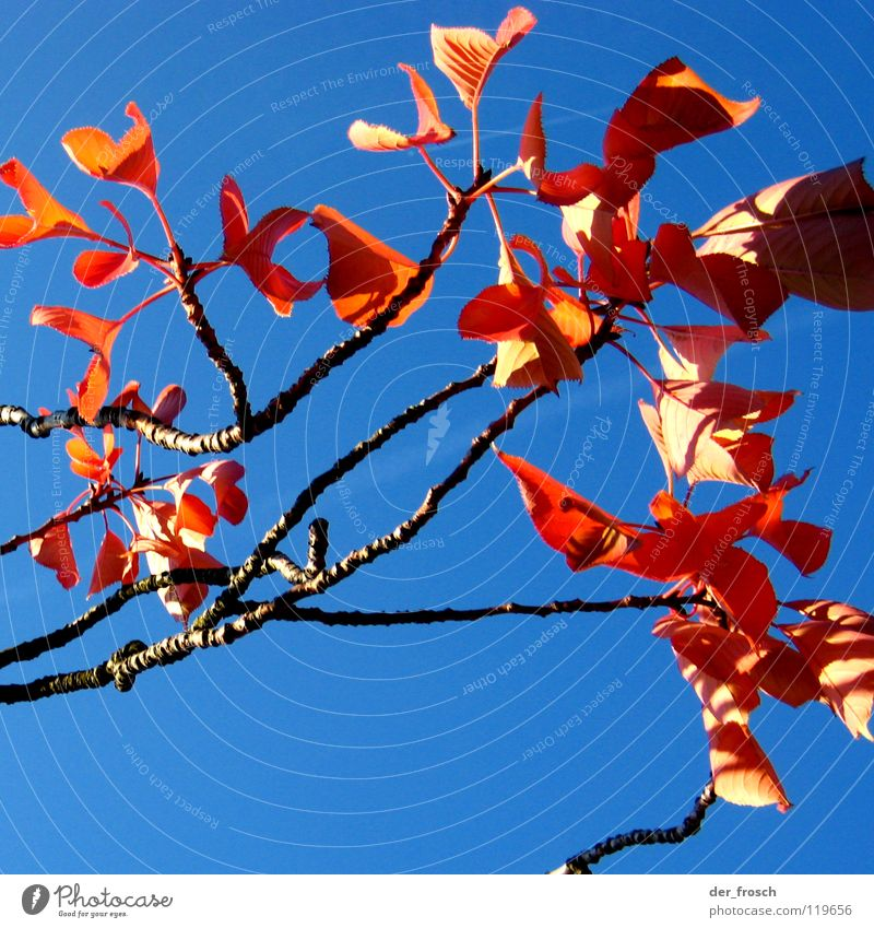 autumn colours Autumn Tree Leaf Red Shadow Autumnal colours Sky Blue Beautiful weather