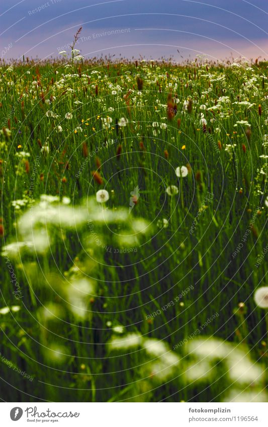 Nature Plant Landscape Dark Meadow Grass Natural Dandelion Wild plant Meadow flower Habitat Glade Herb meadow