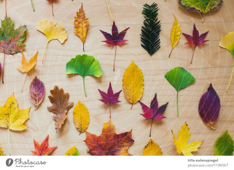 salad Animal Autumn Tree Leaf Collection Lie To dry up Nature Transience Ginko Oak leaf Beech leaf American Sycamore Coniferous trees Norway maple Potpourri Red