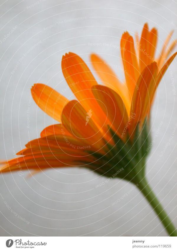 summer flower Spring Summer Flower Yellow Blossom Blossom leave Orange Warmth
