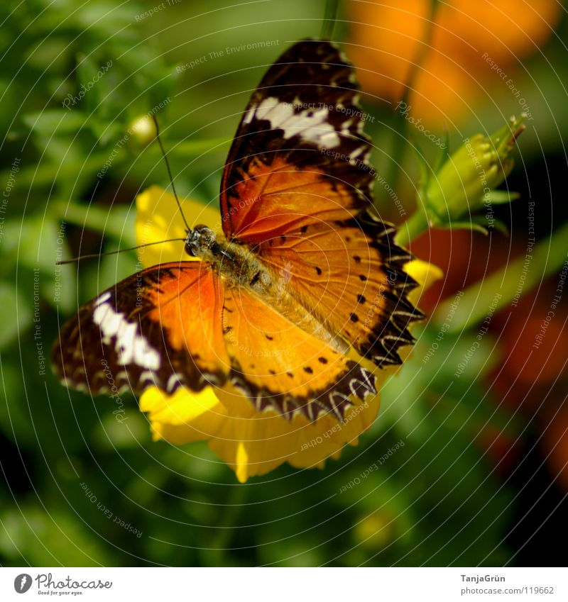 butterfly II Butterfly Flower Blossom Plant Grass Leaf Yellow Brown White Black Multicoloured Summer Insect Departure Break Physics Thailand Striped Feeler