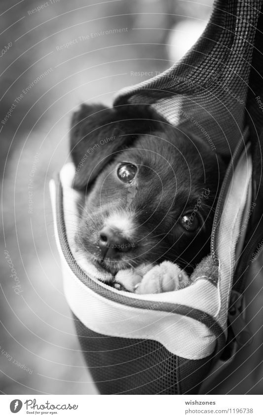 Adorable little Puppy in a Bag Animal Pet Dog 1 Baby animal Cuddly Cute Black White Safety Protection Safety (feeling of) Love of animals Loyalty Serene puppy