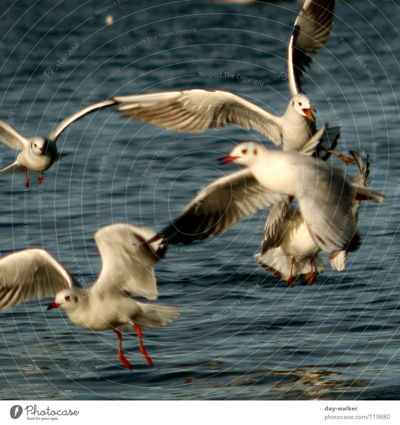 Water White Blue Red Animal Yellow Lake Bird Waves Action Feather Wing Anger Fight Seagull Aggravation