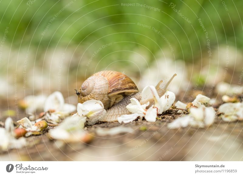 Roman snail in robinia blossom 2 Environment Nature Landscape Plant Animal Spring Summer Blossom Garden Park Meadow Field Forest Wild animal Snail