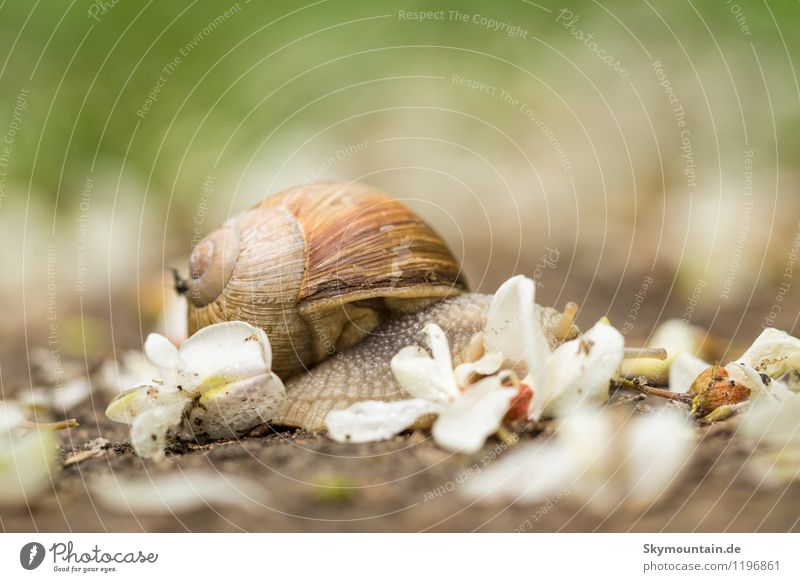 Roman snail in robinia blossoms 1 Environment Nature Plant Animal Spring Summer Beautiful weather Blossom Garden Park Meadow Field Forest Hill Snail