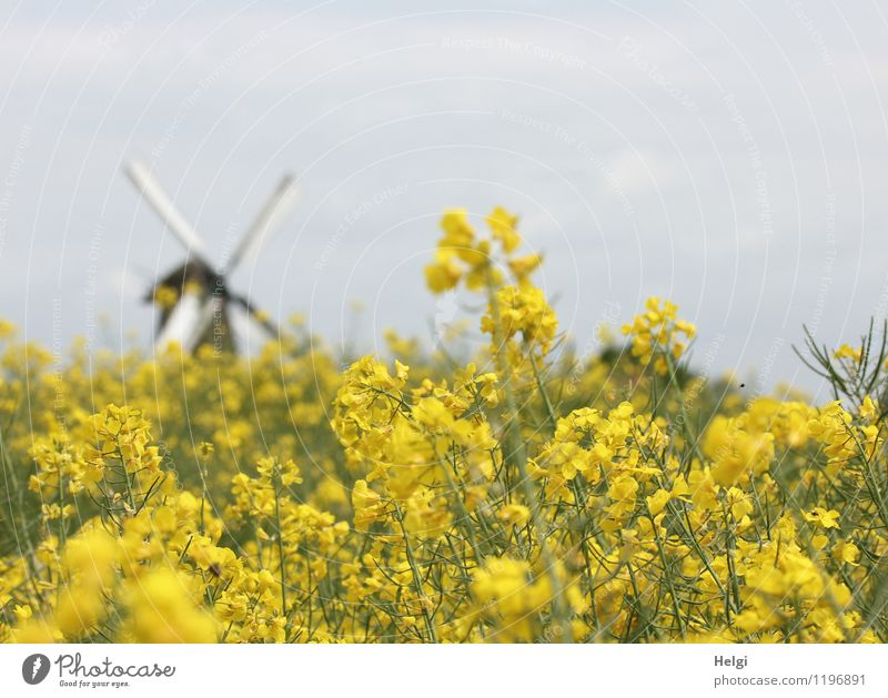 rural Environment Nature Landscape Plant Clouds Spring Tree Agricultural crop Canola Oilseed rape flower Field Village Manmade structures Architecture Mill