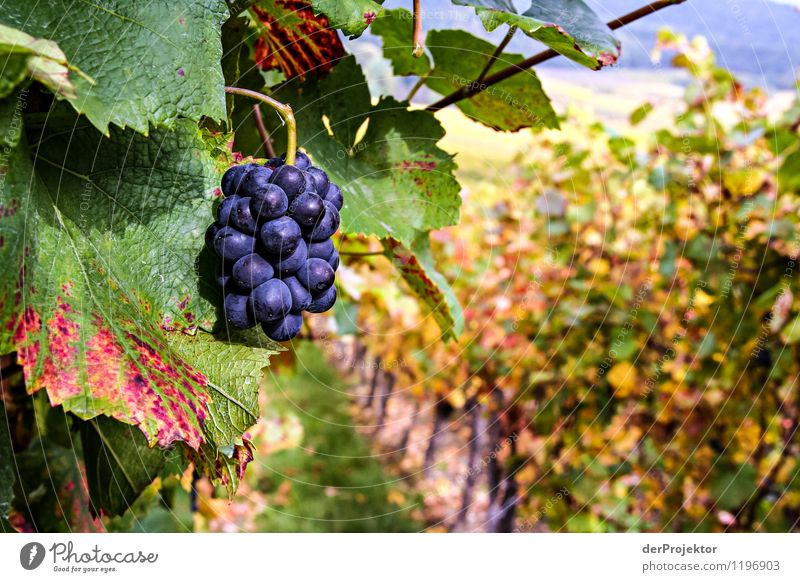 Nature Plant Landscape Animal Joy Environment Emotions Autumn Fruit Field Authentic To enjoy Beautiful weather Hill Agriculture Wine