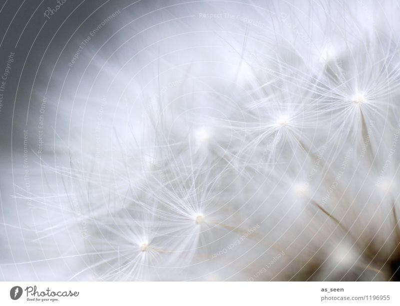 as light as a feather Beautiful Wellness Life Harmonious Senses Relaxation Calm Environment Nature Plant Air Spring Summer Flower Dandelion Seed Flying Esthetic