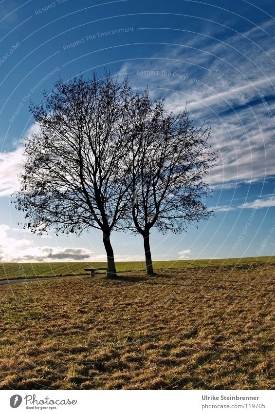 Single pair of trees in January Winter Landscape Plant Earth Air Sky Clouds Horizon Weather Field hillock Stripe Stand Growth Wait Together Thin Blue Brown