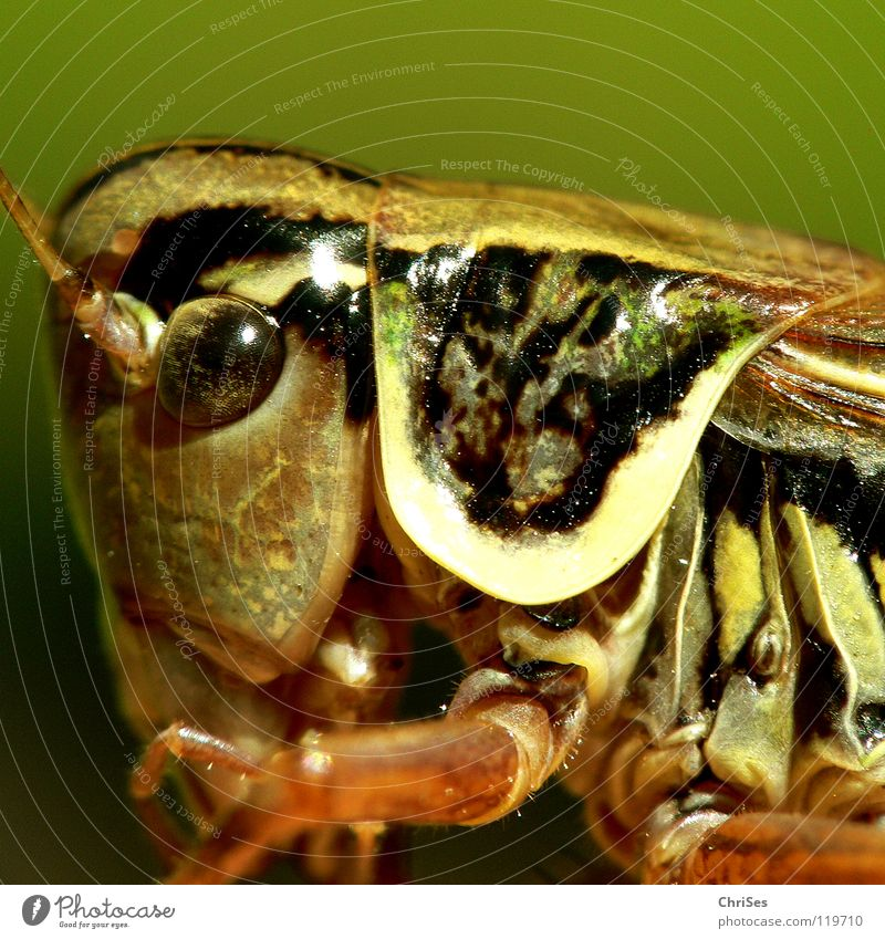 Green Summer Animal Eyes Jump Brown Insect Living thing Feeler Locust Normal Armor-plated Northern Forest House cricket