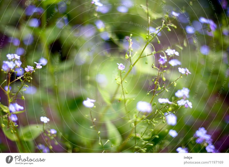 FORGET-ME-NOT Spring Summer Plant Flower Blossom Forget-me-not Blossoming Small Blue Green Violet Light green Delicate Spring colours Spring flower Summery