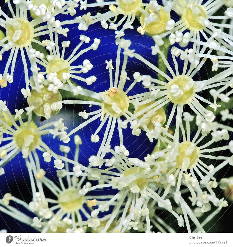 White Blue Plant Summer Blossom Spring Garden Park Star (Symbol) Growth Climbing Blossoming Bee Pistil Stick Honey