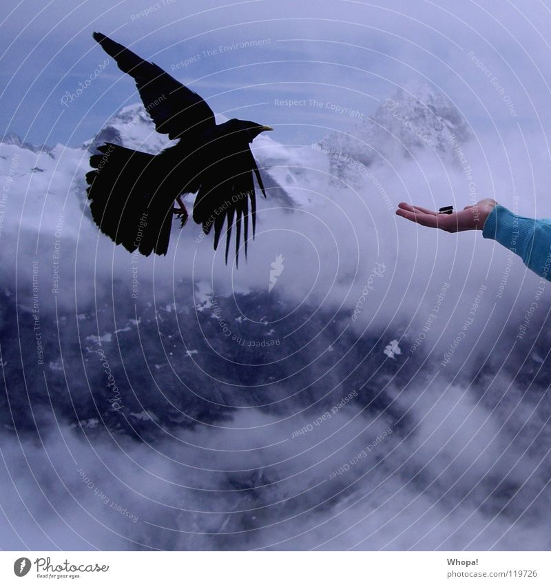 fast food Jackdaw Bird Cookie Hand Switzerland Clouds Alps shield horn Mountain Nutrition