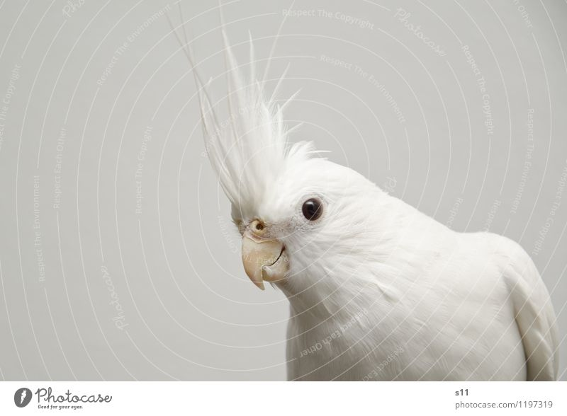 Bobby ll Animal Pet Bird Wing Nymphensittilch cockatiel Feather Beak 1 Observe Think Listening Looking Sit Exceptional Cool (slang) Elegant Exotic Beautiful