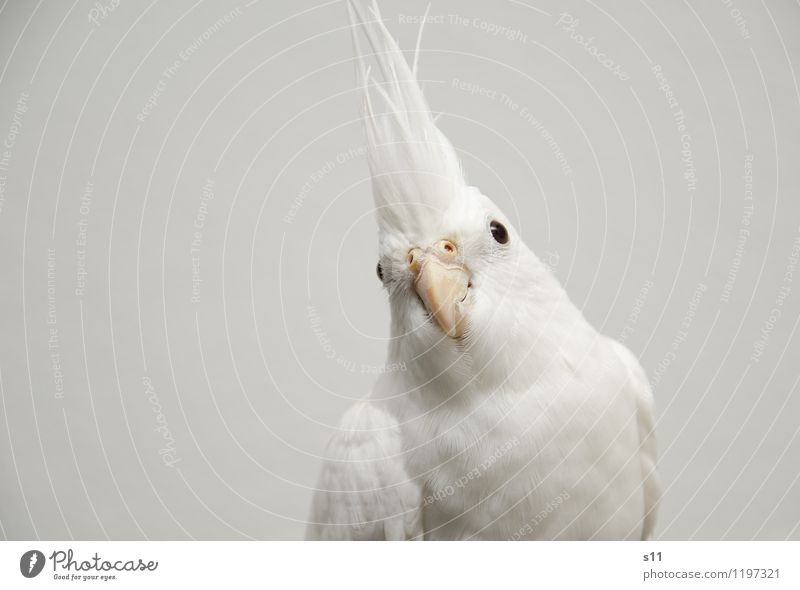 Beautiful White Animal Eyes Bird Elegant Authentic Feather Wait Wing Observe Cute Soft Curiosity Watchfulness Pet