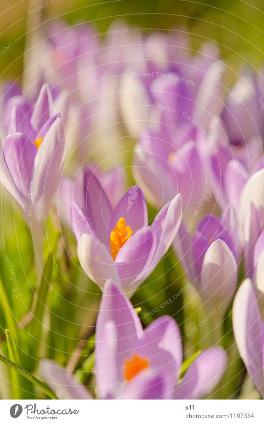 Spring II Nature Plant Sunlight Beautiful weather Flower Blossom Crocus Garden Park Blossoming Fragrance Growth Elegant Exotic Natural Green Violet Orange Moody