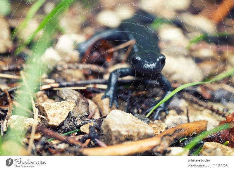 voyage of discovery Lizards Newt Salamander Observe Discover Curiosity Interest Black Animalistic Animal portrait Close-up Macro (Extreme close-up) Bravery