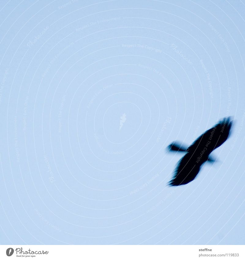 Air Bird Flying Hover Blue sky Floating Sky blue Light blue Cloudless sky Bird of prey Flight of the birds Clear sky Bright background