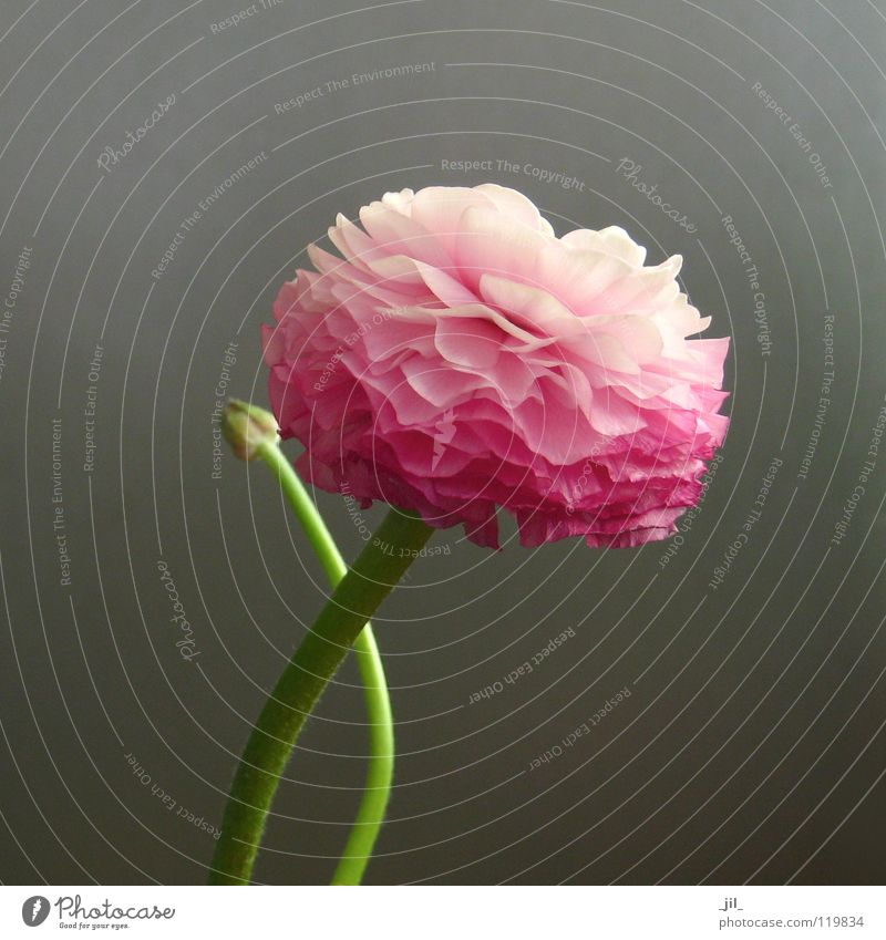 ranunculus 2 Flower Blossom Pure Superimposed Life Force Pink Green Gray Beautiful Globeflower Shift work Level Structures and shapes Movement Smooth
