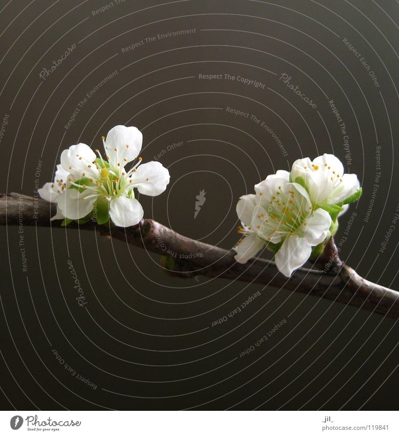 Beautiful White Flower Green Yellow Dark Blossom Spring Bright Brown Force Asia Pure Noble Graceful Cherry blossom