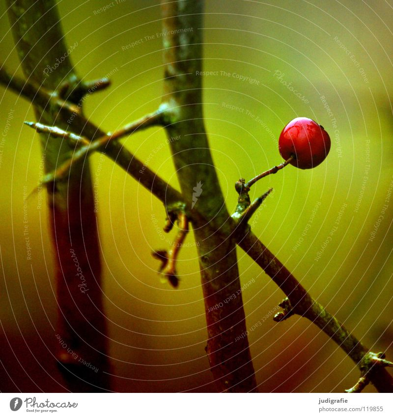 Nature Green Red Winter Loneliness Colour Cold Autumn Small Environment Wet Fruit Bushes Delicate Twig