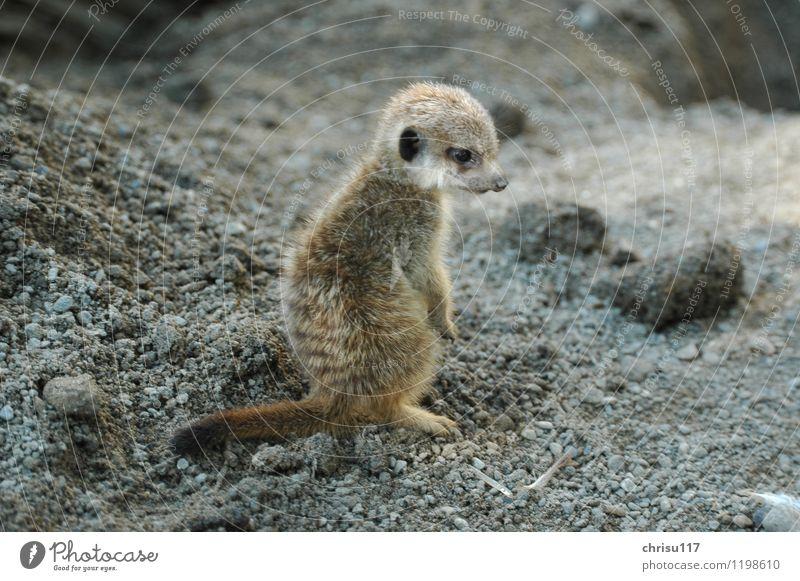 Nature Summer Animal Baby animal Park Wild animal Adventure Reluctance Meerkat Petting zoo