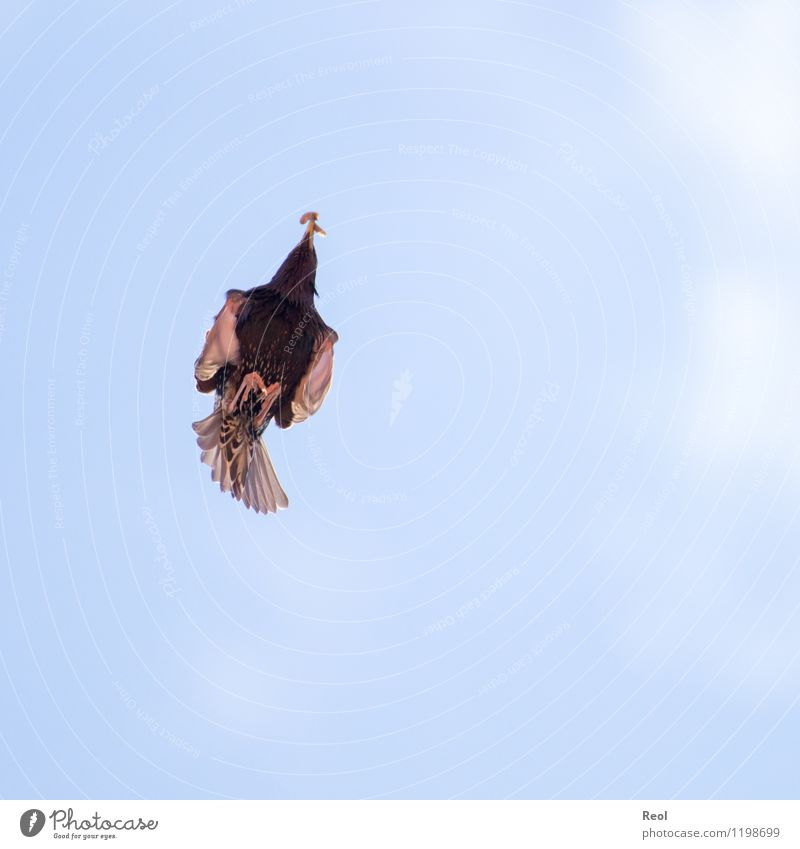 Arrow Speed Environment Nature Animal Air Sky Wild animal Bird Worm Blackbird 1 Flying To feed Blue Hunting Foraging Metal coil Dynamics Glide Hover