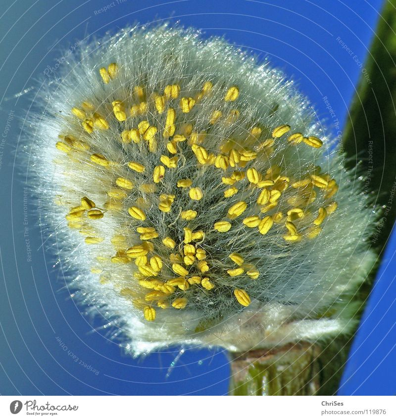 Blue Plant White Tree Yellow Spring Blossom Gray Hair and hairstyles Bushes Branch Blossoming Soft Pasture Twig Bud