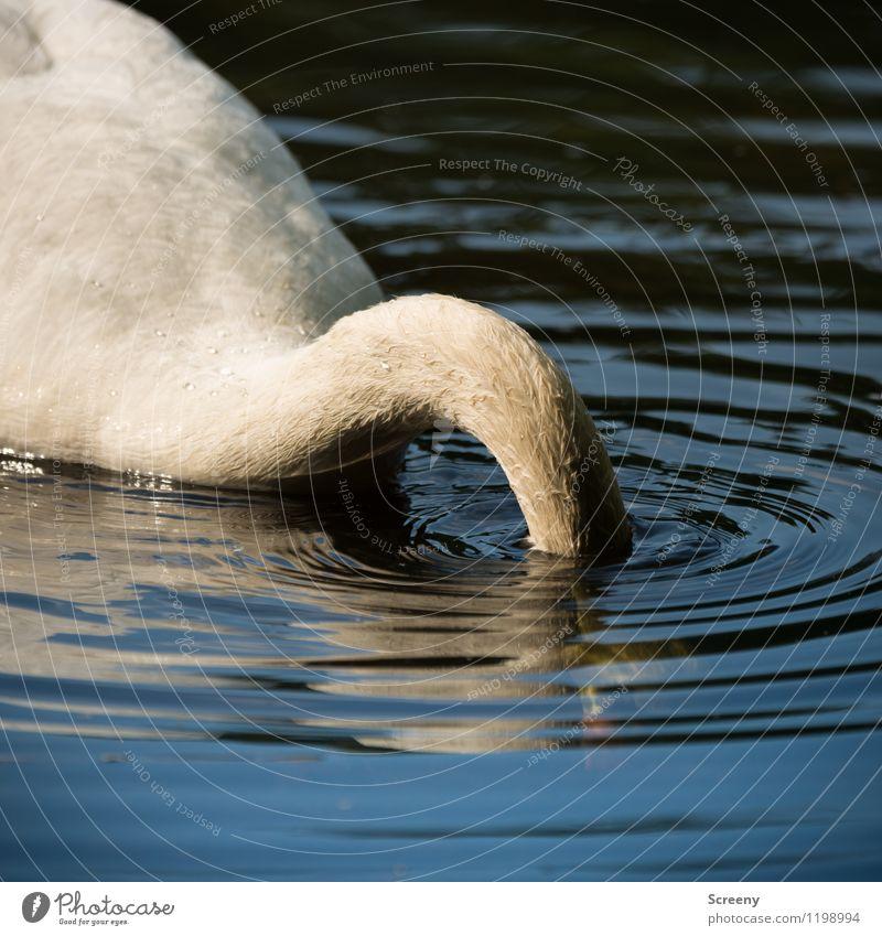Submerged Nature Animal Water Spring Summer Pond Lake Wild animal Swan 1 Swimming & Bathing White Dive Underwater photo Waves Neck Hide Colour photo