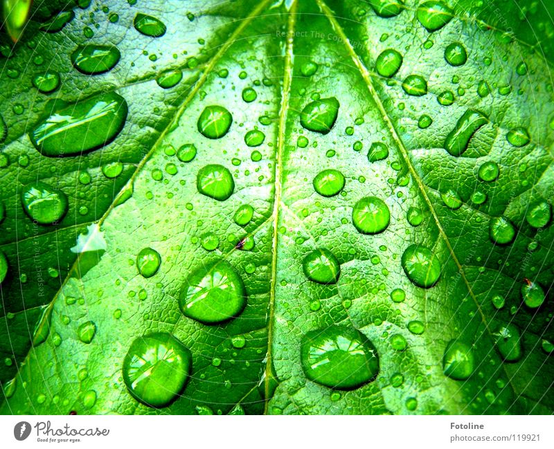 Raindrops on a vine leaf Virginia Creeper Drops of water Summer in front of our house after rain Sun was shining sheet clipping juicy green Plant flaked Water