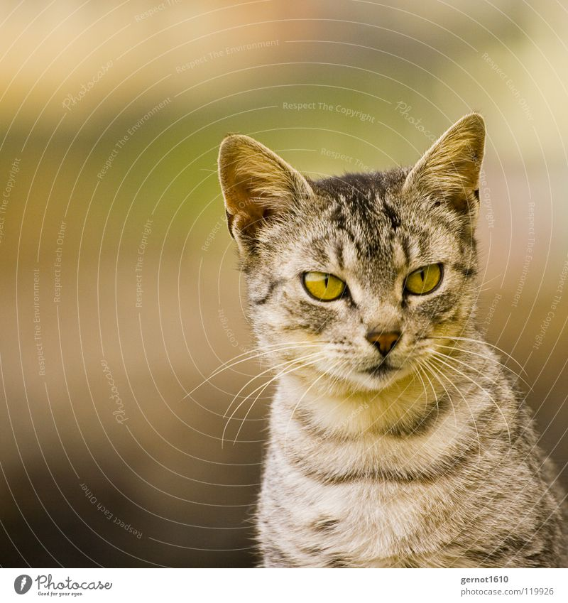 Beautiful Black Eyes Gray Cat Stripe Ear Curiosity Listening Concentrate Watchfulness Snapshot Interest Mammal Domestic cat Accuracy