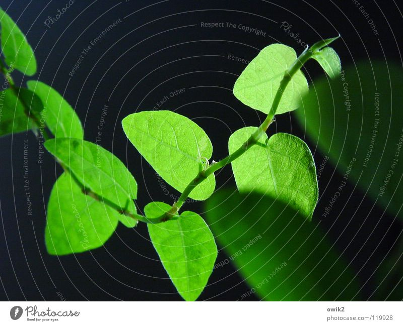 Nature Plant Green Leaf Black Spring Lighting Natural Small Decoration Idyll Authentic Illuminate Near Delicate Thin